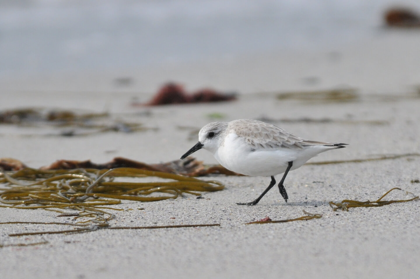 becasseau sanderling molene